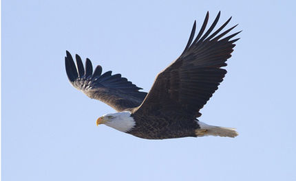 Vermont Announces Plan to Restore Bald Eagles