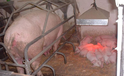 Largest US Pork Producer Ignores Welfare Promises
