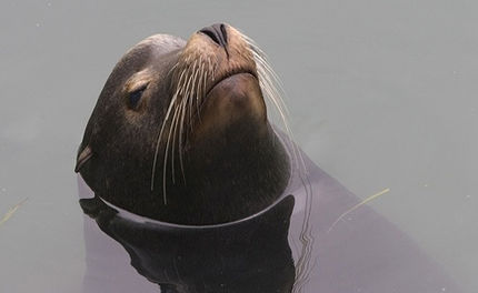 A Victory for Sea Lions!