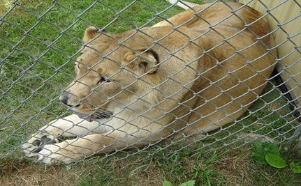 Florida Man to Live in Lion�s Den!