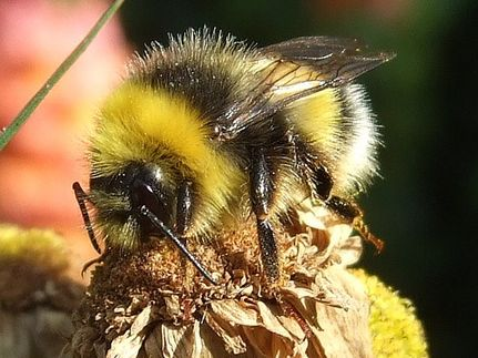 Where Have All the Bumble Bees Gone?