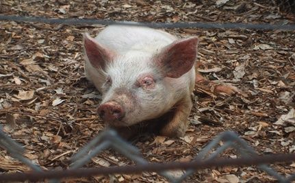 Genetically Modified Pigs for Human Consumption