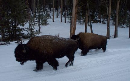 Ritual Hazing, Slaughter Of Wild Bison Could Begin Soon