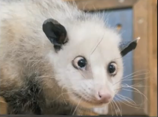 Cross-eyed and Cute: Meet Heidi The Opossom [VIDEO]