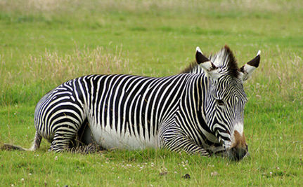 Three Zebras Shot Dead After Escaping Hearst Ranch
