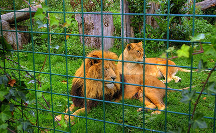 Iranian Zoo Kills 14 Lions