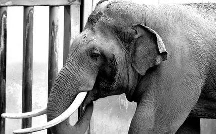 Elephant Accidentally Kills Handler