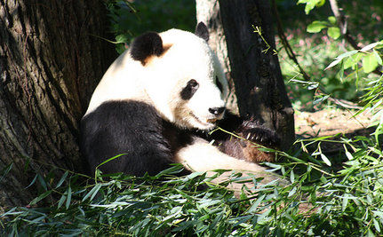 Giant Pandas Get To Stay In U.S. (Video)