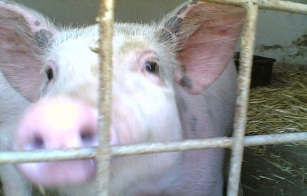 Help Stop UMMC's Cruel and Wasteful Pig Lab