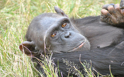 Chimpanzees Outsmart Hunters