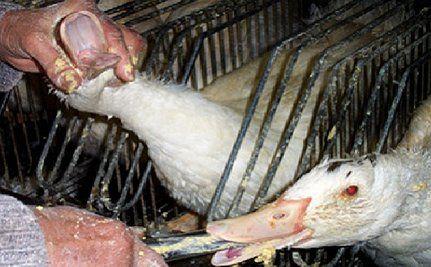 Foie Gras: A Diseased Delicacy (VIDEO)