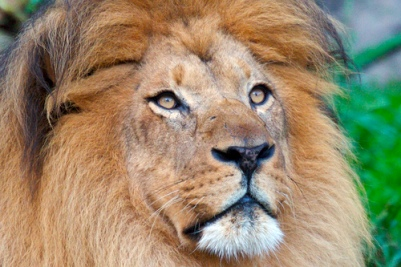 Threats Keep Lion Tacos Off the Menu at Arizona Restaurant