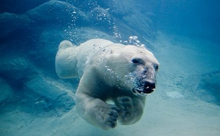 Polar Bear Swims For 9 Days Before Finding Ice