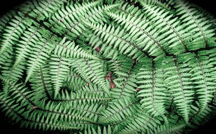 Not Your Average Houseplant: Biologist Develops Bomb-Detecting Ferns [VIDEO]