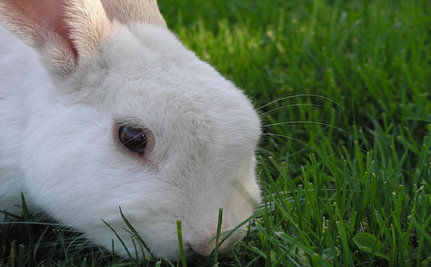 Bunnies In Danger as Year Of The Rabbit Begins
