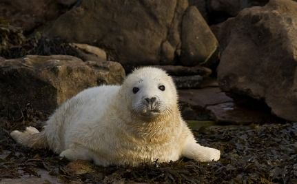 Lost Seal Pups Found 350 Miles From Home