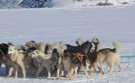 Mass Slaughter Of 100 Sled Dogs