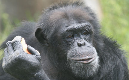 Chimps Can Guess What You're Thinking