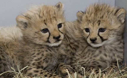 Adorable Cheetah Cub Cam (Live Video)