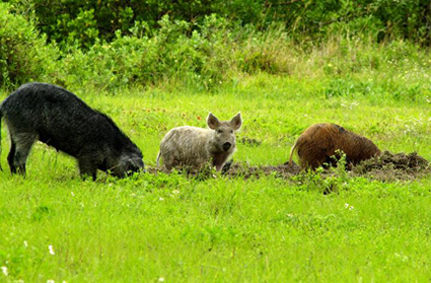 Monsanto's Mutant Alfalfa and the Feral Pig Invasion