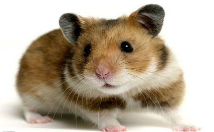 All About Hamsters (VIDEO)