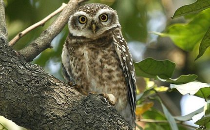 Save the Spotted Owl, Shoot a Barred Owl?