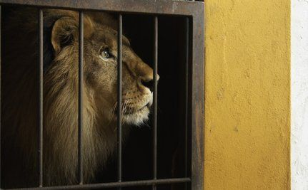 Rescued Bolivian Circus Lions Arrive In Colorado