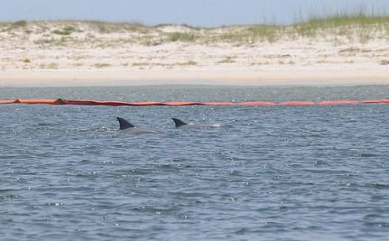 Gulf Coast Sees Spike In Baby Dolphin Deaths