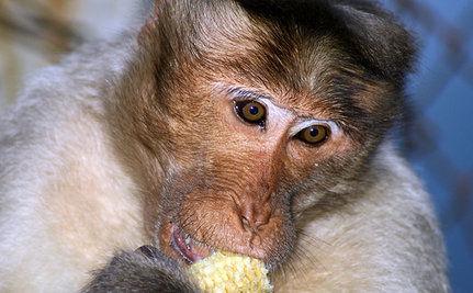 Fattening Up Monkeys to Test Human Obesity Drugs