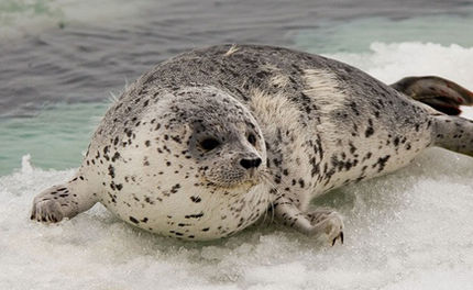 Canada's Annual Seal Hunt Begins, Kill Quota Increased