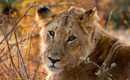 Help Save African Lions from Extinction