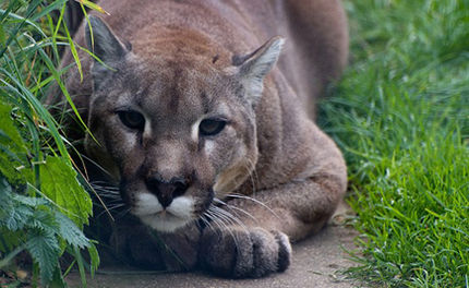 Eastern Cougar Declared Extinct