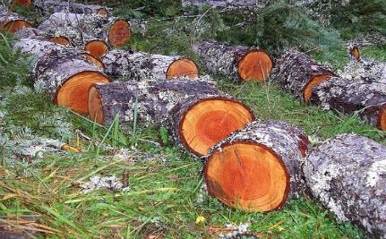 Wikileaks: 70 Percent Of Peruvian Timber Felled Illegally