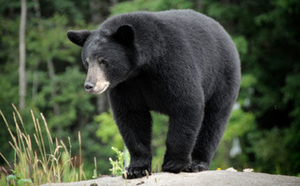 Protect Research Bears from Hunters