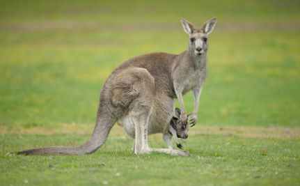 Kangaroos Caged to Study Their Farts?