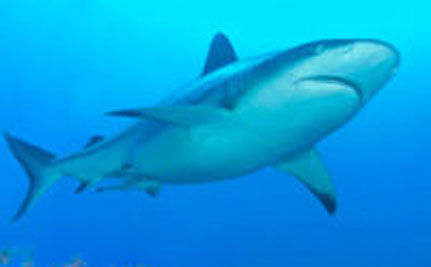 Shark Finning Banned in Guam