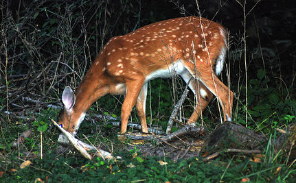 Why is Connecticut Slaughtering Deer?