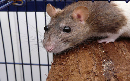 Rats Approved As Service Animals Amid Protest from Tea Party and Feds