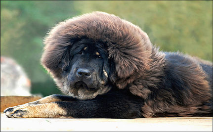 Tibetan Mastiff Puppy Becomes World's Most Expensive Dog