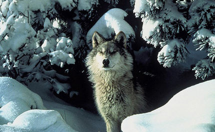 Settlement Over Wolf Delisting Divides Conservation Groups
