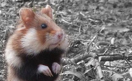 Great Hamster of Alsace Finds Champion in Fight to Survive