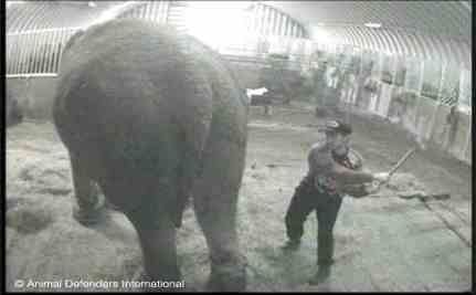 Shocking Video of Britain's Oldest Circus Elephant Beaten