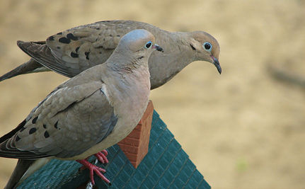 Iowans Can Now Shoot Doves, The Symbol of Peace