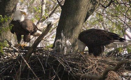 Webcam Captures Bald Eagles Hatching