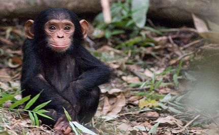 Chimp and Foster Mother Reunite After 30 Years
