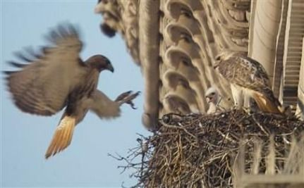 A Tale of Four Redtail Hawks in NYC [VIDEO]