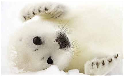Canada's Cruel Seal Hunt Begins (Video Tribute)