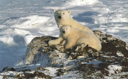 Polar Bear Hunting Banned In Russia This Year