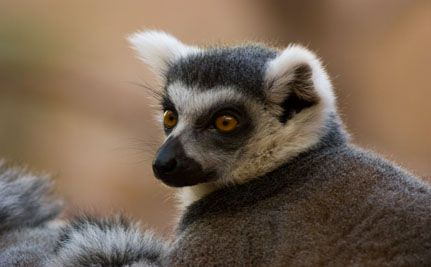 Sir Richard Branson Sparks Lemur Relocation Controversy