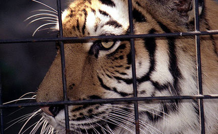 Lawsuit Filed to Free Truck Stop Tiger